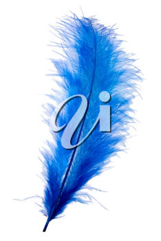 Blue feather isolated on white background