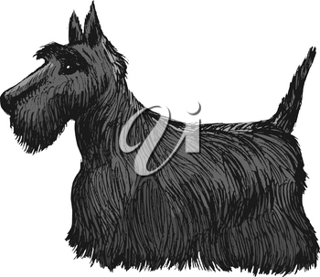 vector, coloured, sketch, hand drawn image of Scottish terrier