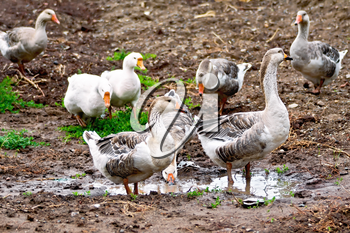 Geese gray against the brown earth, green grass and water