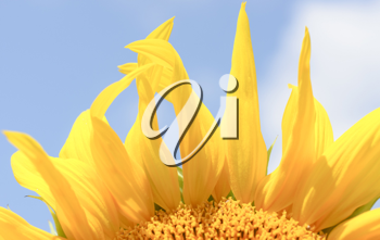 Royalty Free Photo of Sunflower Petals Against a Blue Sky