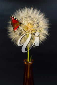 Royalty Free Photo of a Butterfly on a Dandelion
