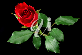 Red rose isolated on black