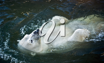 Royalty Free Photo of a Polar Bear