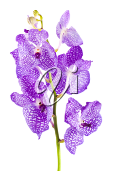 Orchid flower branch with buds isolated on white background