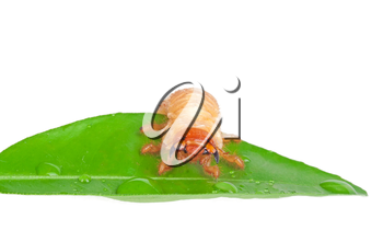 Chafer larva on green leaf isolated on white