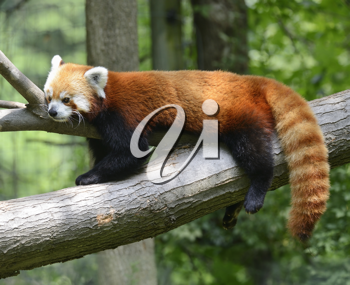 Royalty Free Photo of a Red Panda in a Tree