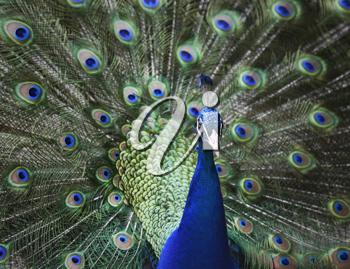 Royalty Free Photo of a Peacock