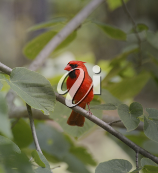 Royalty Free Photo of a Cardinal in a Tree