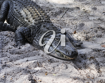 Royalty Free Photo of an American Alligator
