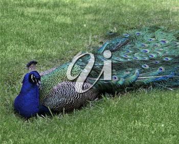Male Peacock Resting On A Grass