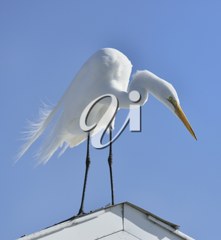 Great White Egret Stands On The Roof