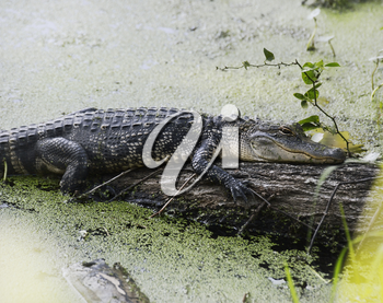 American Alligator Resting On A Log
