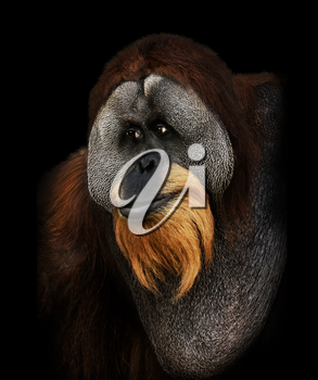 Orangutan Portrait On Black Background