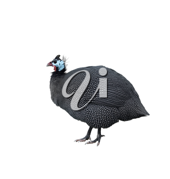 Helmeted Guinea Fowl Isolated On White Background
