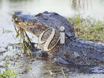 Wild Florida Alligator Jumps out of  Water