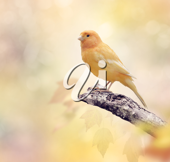 Wild Canary perches on a branch