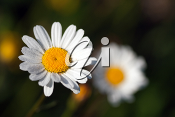 daisy in the grass