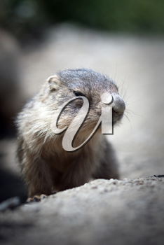 A cute baby marmot close-up in the french alps