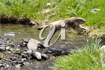 marmot in the alps jumping over a river