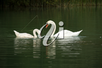 White swans on a lake in summer