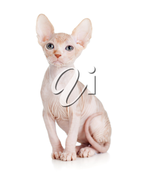 Royalty Free Photo of a Hairless Kitten