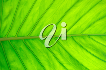 Royalty Free Photo of a Green Leaf