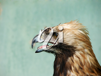 Royalty Free Photo of a Young Eagle