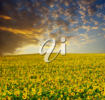 Royalty Free Photo of a Field of Sunflowers