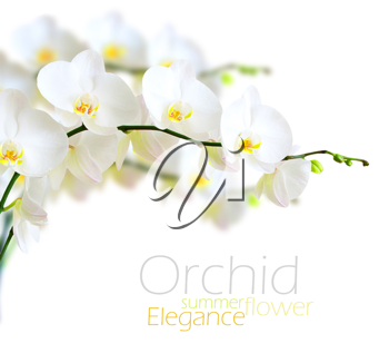 Royalty Free Photo of White Orchids