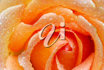 macro of orange rose with water drops