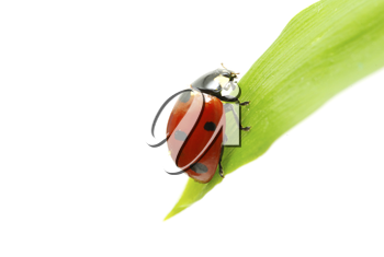 red ladybug on green grass isolated on white