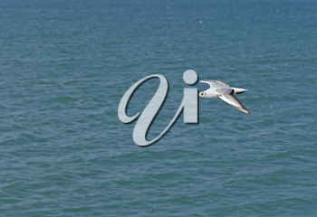 White seagull flying over the sea waves