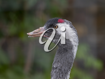 The red-crowned crane Close up portrait Grus japonensis also called the Japanese crane.