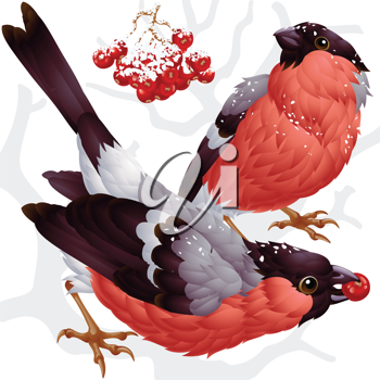 Royalty Free Clipart Image of a Two Bullfinches and Ash Berries