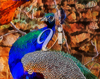Royalty Free Photo of an Illustration of a Peacock