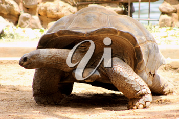 Royalty Free Photo of a South African Berg Tortoise