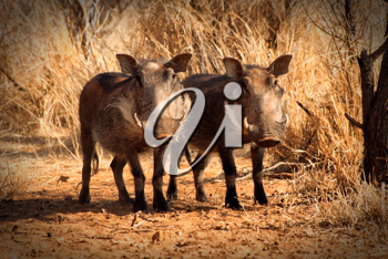 Royalty Free Photo of Two Warthogs