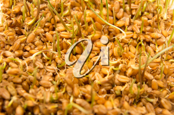 sprouted wheat as the background
