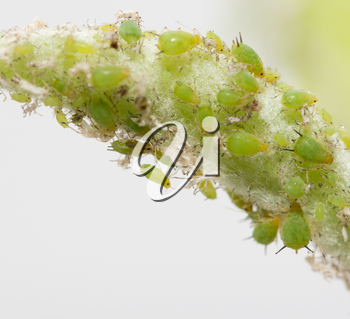 aphids on a green leaf. macro