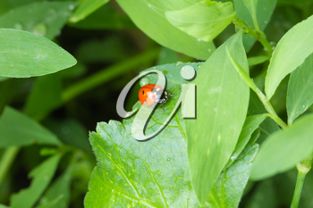ladybug in the grass in nature. macro