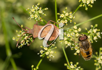 Stink beetle and fly in nature