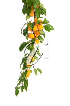 yellow plum on a white background