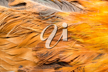Rooster Feather background. fine texture