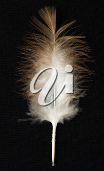 feather on a black background