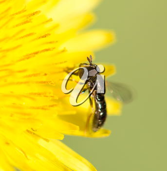 fly on a yellow dandelion. macro