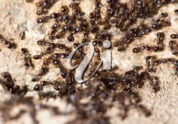 thousands of black ants on stony ground