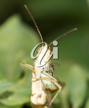grasshopper in nature. close-up