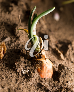 onions in the ground. close-up