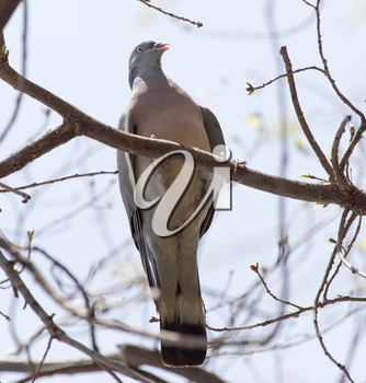 dove on the tree in nature