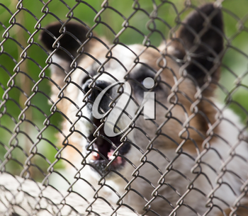 angry dog behind the fence